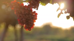Branch with red grapes and sunlight Stock Footage
