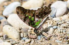 Close up tailed jay butterfly with have green spots on wings Stock Photos