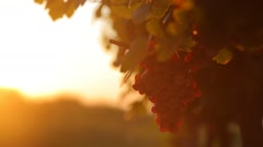 Red grapes in vineyard at sunset Stock Footage