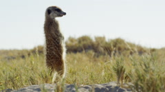 4K+ R3D - Meerkat - standing sentinal, backlit, medium, low from behind. Africa Stock Footage