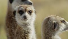 4K+ R3D - Meerkat - group of 3 standing sentinal, close up from side. Africa Stock Footage