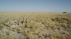 4K+ R3D - Meerkat - group standing sentinal, very wide, from front, scenic. Stock Footage