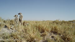 4K+ R3D - Meerkat - group of 3 standing sentinal, very wide, from front, scenic Stock Footage