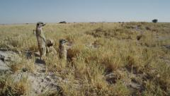 4K+ R3D - Meerkat - group of 3 standing sentinal, very wide, from side, scenic Stock Footage