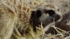 4K+ R3D - Meerkat - sentinal then digging for scorpion, close from side. Africa Stock Footage