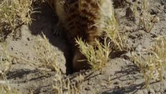4K+ R3D - Meerkat - digging then eating scorpion, close up from above. Africa Stock Footage