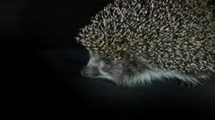 Stock Video Footage Scared but brave hedgehog. Stock Footage