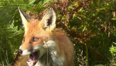 Fox licking its face and looking around - close-up - stock footage