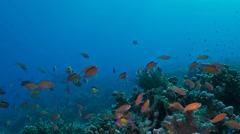 Coral reef with Anthias Stock Footage