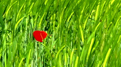 Vibrant green and red of wheat and a poppy. Stock Footage