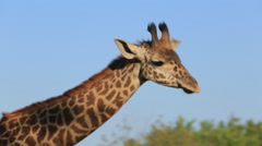 Giraffe  in a zoo Stock Footage