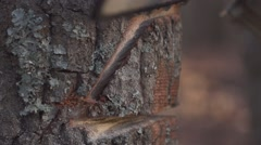 Chainsaw cuts away hinge wedge from oak tree in slow motion - closeup Stock Footage