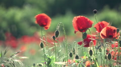Vintage backlit shot of poppies in a wheat field. Stock Footage