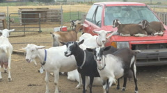 A group of goats laying on top of an old car - Urban farming Stock Footage