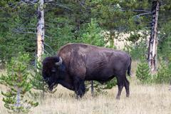 north american buffalo grazing near edge of woods during late summer - stock photo