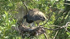 Tricolored Heron on nest Stock Footage