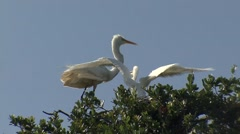 Great White Egret Stock Footage