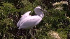 Snowy Egret Stock Footage