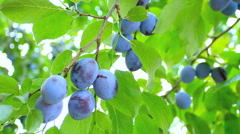 Ripe plums hand picked from plum tree. Stock Footage