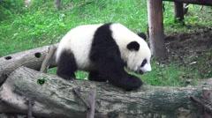 Little Panda Bear Walks Across Wooden Logs 4K Stock Footage