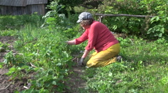 Farmer grandmother woman weed and eat strawberry plants Stock Footage