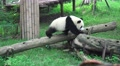 Little Panda Bear Walks Across Wooden Log 4K 4k or 4k+ Resolution
