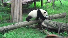 Little Panda Bear Walks Across Wooden Log 4K Stock Footage