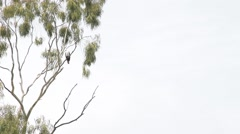 Eagle perched in a tree Stock Footage