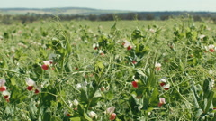 Crop of Field Peas on an Australia Farm Stock Footage