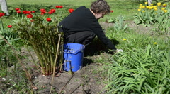 Woman looks after tulip flower beds in spring garden Stock Footage