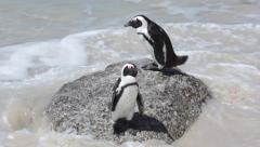 PENGUINS BOULDERS BEACH CAPE TOWN Stock Footage