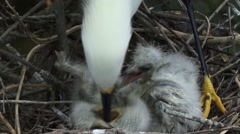 Snowy Egret and chicks Stock Footage