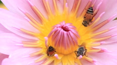 Bees collect  pollen on lotus flower. Stock Footage