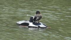 Mallard rest on safe area in wild lake, beak animal, bird relaxation, natural  Stock Footage