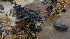 Common woodlouse on an old dead tree Stock Footage