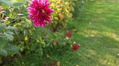aster flower in slider shot - stock footage