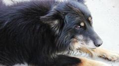 Dog Lies Quietly Stock Footage