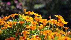 Orange flowers Marigold in a autumn garden Stock Footage