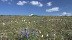 P03878 Wildflowers and Field in Alpine Area in Summer in Rockies - stock footage