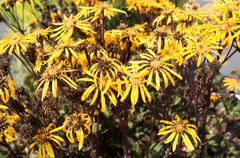flowers of asteraceae or ligularia. - stock photo