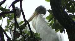 Young adult Woodstorks in the rain Stock Footage
