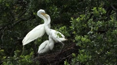 Great White Egret on nest Stock Footage