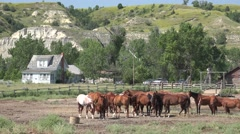 P03883 Horse Herd at Old Ranch House in Theodore Roosevelt Park Stock Footage