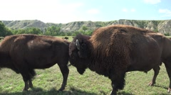 P03887 Tracking of Buffalo aka Bison Herd in the Great Plains Stock Footage