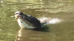 Alligator calling during mating season Stock Footage