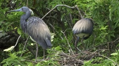 A pair of Tricolored Heron Stock Footage
