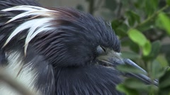 Head of Tricolored Heron Stock Footage