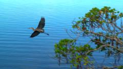 Florida Great Blue Heron Fly By Stock Footage