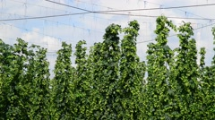 Hop garden befor the harvest in the breeze, real time, Stock Footage
