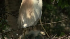 Cattle Egret Stock Footage